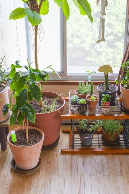 コーヒーの木 室内 置き場所