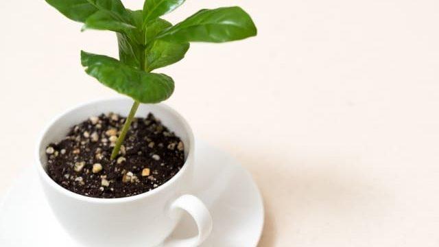 コーヒーの木 空気清浄