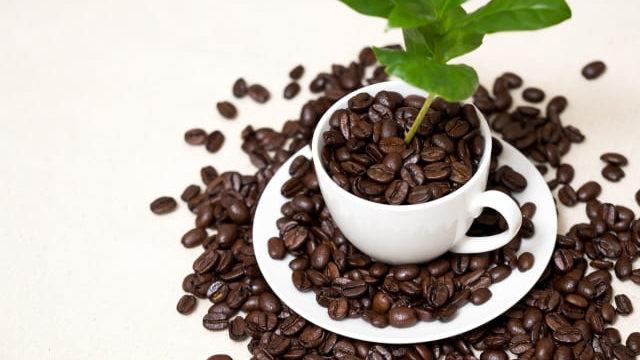 コーヒーの木 観葉植物 室内