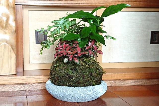 コーヒーの木 盆栽
