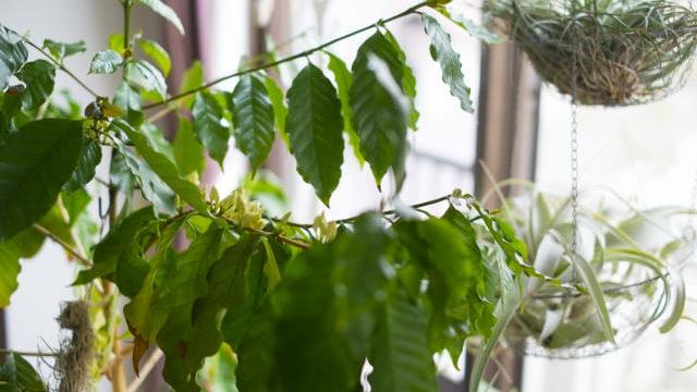コーヒーの木 花が咲くまで
