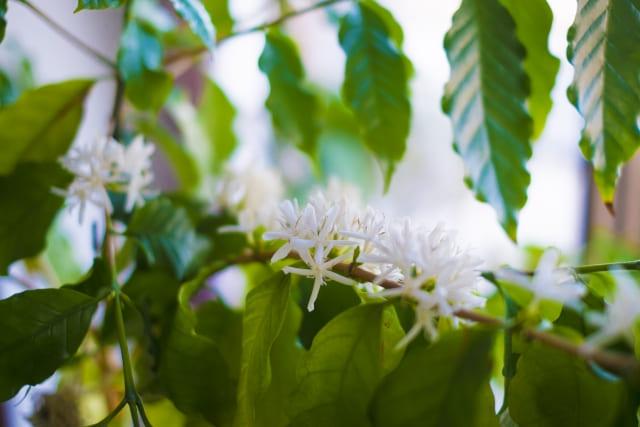 コーヒーの木 匂い