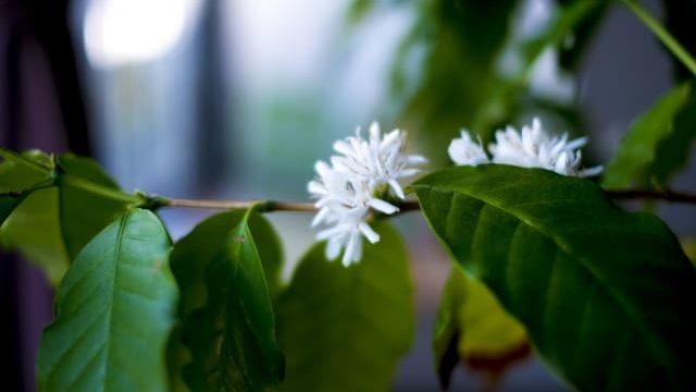 コーヒーの木 花が咲かない