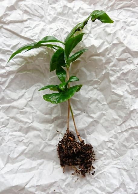 コーヒーの木 苔玉