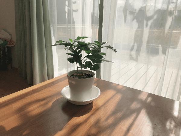 コーヒーの木 リビング