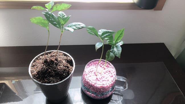 コーヒーの木 ハイドロカルチャー 育て方