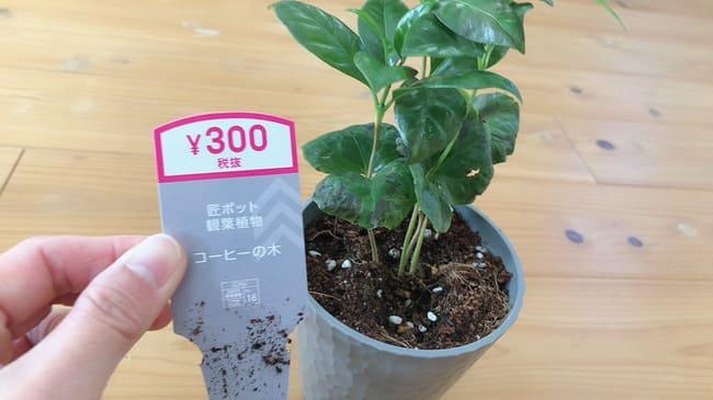 コーヒーの木 ダイソー 値段