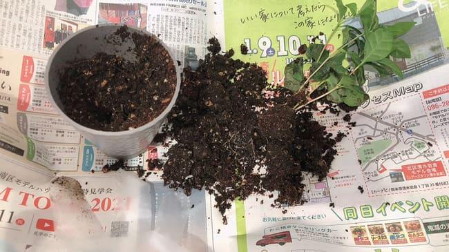 コーヒーの木 植え替え