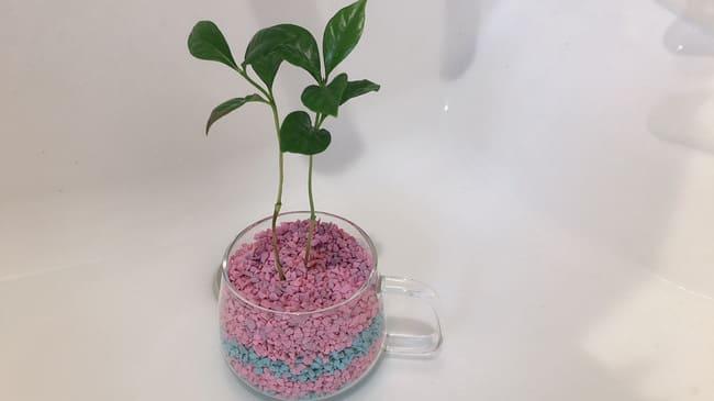コーヒーの木 ハイドロカルチャー 植え方