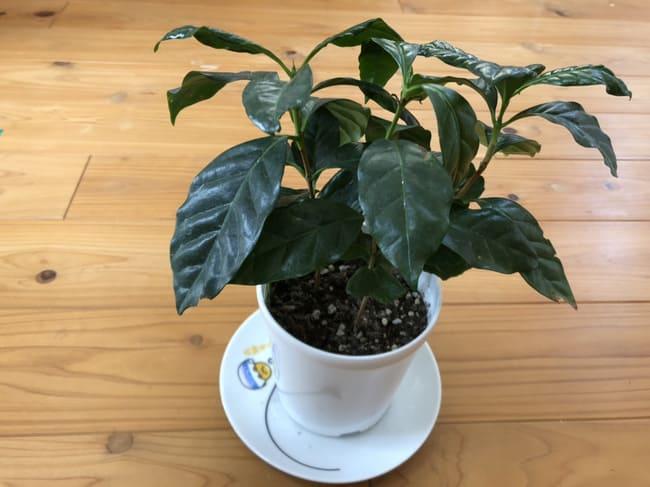 コーヒーの木 葉が垂れた