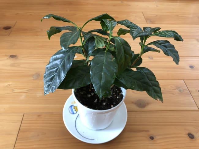 コーヒーの木 葉が垂れる