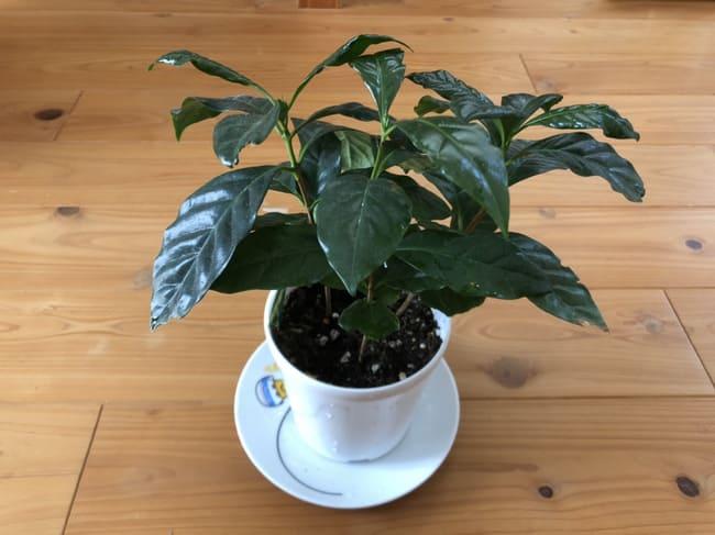 コーヒーの木 葉が下を向く