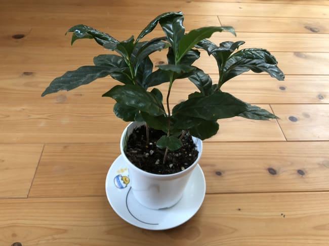 コーヒーの木 葉に元気ない